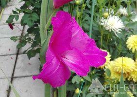 Гладиолус - как украшение сада