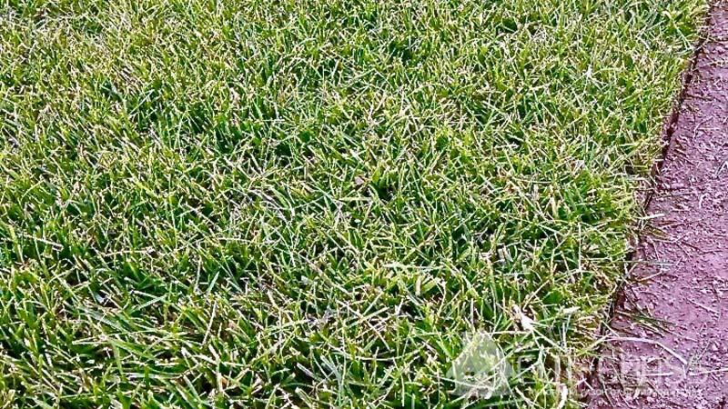 Рулонный газон от производителя Элит-Грасс