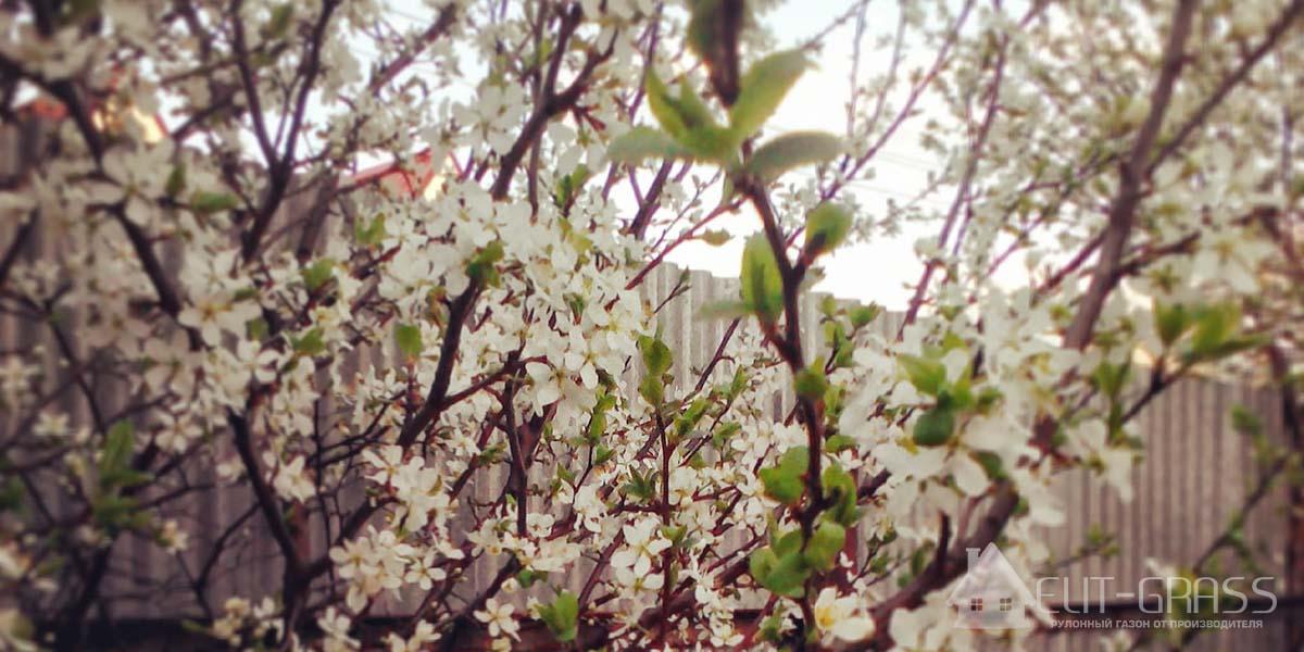 Цветущие плодовые деревья